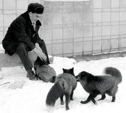 Belyaev with his foxes