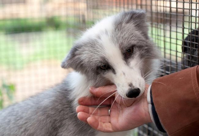 Piebald fox