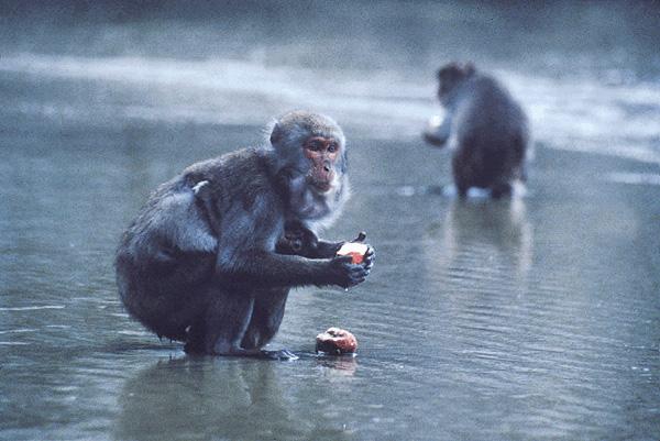 Monkeys washing potatoes